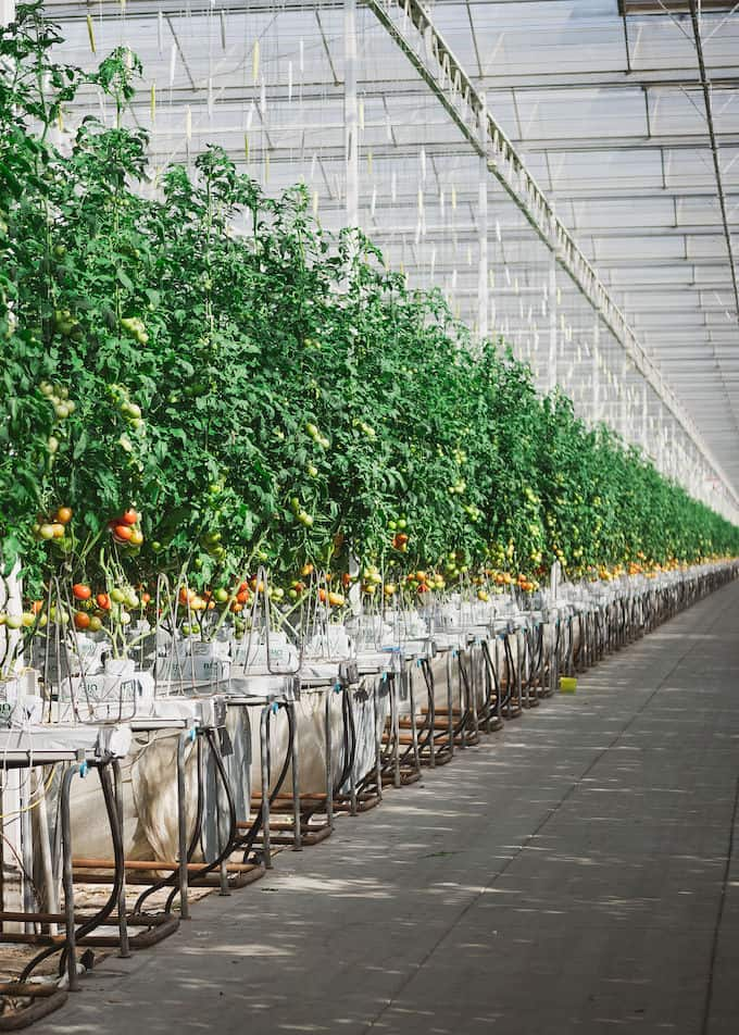 Hydroponic tomatoes growing at Houweling's Farm in Camarillo, CA.