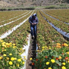 A Visit To A California Strawberry Farm