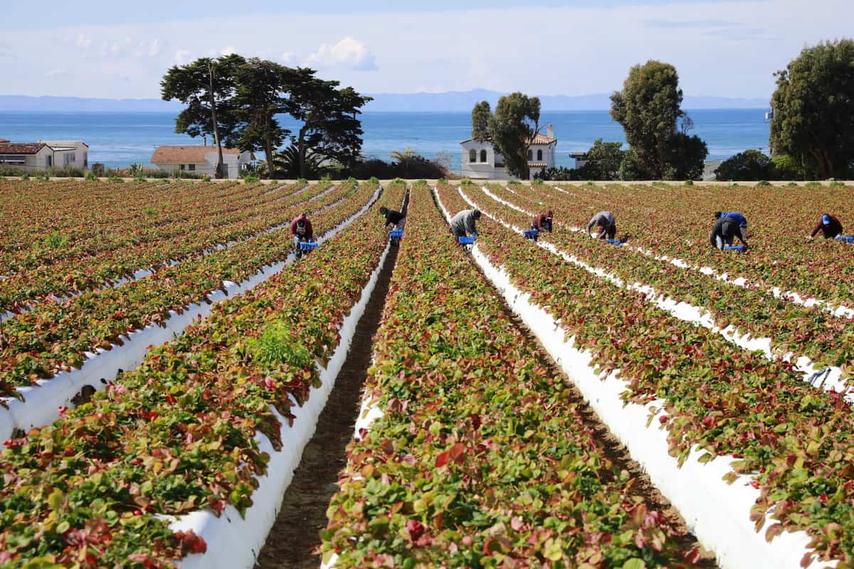 Rows of strawberries in a farm field overlooking the ocean with farmworkers picking strawberries in the field.